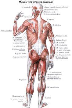 Мышцы человека | Анатомия Мышцы, строение, функции, картинки на EUROLAB