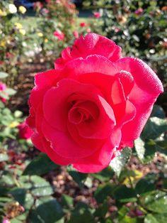 Let Freedom Ring Rose | Let Freedom Ring Rose