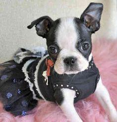 Boston Terrier (Bailey Boston)