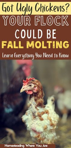 Got ugly chickens? Your flock might be fall molting. This is a period when your chickens shed their feathers and create new ones before winter. If you're wondering why your chickens are losing feathers, fall molting could be the problem. Chicken Shed, Raising Backyard Chickens, Flocking, Being Ugly, Homesteading, Fall, Feathers, Period, Create