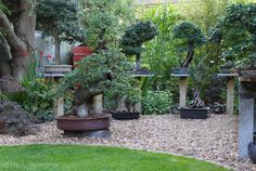 Elm Bonsai In Garden