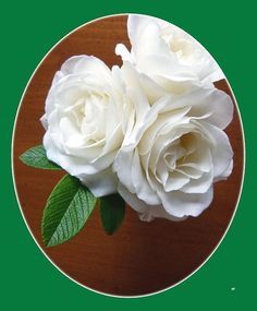 """Three flawless Iceberg Roses with a beautiful oval green border. The roses were grown in a Lake Country District garden in the Okanagan Valley of British Columbia, Canada. """"Belles Roses Blanches"""" #BeautifulWhiteRoses #BellesRosesBlanches #IcebergRoses"""