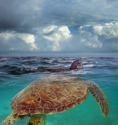 Love seeing the Sea Turtles in our back garden and front garden at Ocean Daze:) Beautiful Creatures, Animals Beautiful, Turtle Life, Save The Sea Turtles, Tortoise Turtle, Mundo Animal, Underwater World, Ocean Life, Marine Life