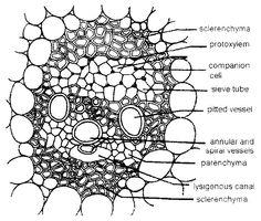 Coleus Stem Tip, l.s.   Plant Anatomy I - Leaf, Stem, Root ...