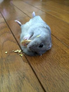"Hamster eating ""nom noms"""