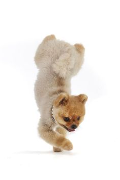 I always say dogs needs jobs, and @jiffpom is quite the show-dog! He's also @GWR fastest dog on two paws! #GWR60