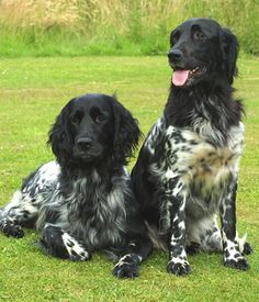 Large Munsterlander picture. I saw one of these dogs at the vet's today. She was beautiful!
