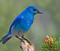 whole blue colored birds looking awesome and also called love birds