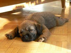 Border terrier puppies are the bestt