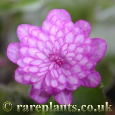 Hepatica japonica 'Taeka' [Family: Ranunculaceae]