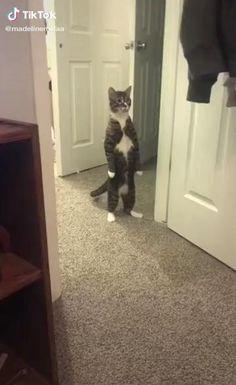 Funny Cute Cats, Cute Cat Gif, Cute Funny Animals, Funny Dogs, Cute Dogs, Beautiful Cats, Animals Beautiful, Funny Cat Videos, Pet Videos