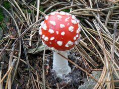 Rood met witte stippen paddenstoel