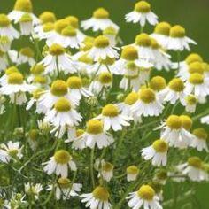 chamomile flowers /echte Kamille