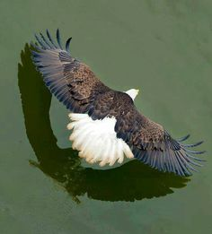 """Bald Eagle... """"flaps up"""" and ready to land on his fish dinner."""
