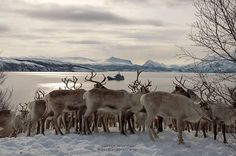 https://flic.kr/p/A4Km1X | Reindeers with a wiew