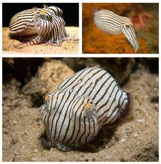 Burtonesque marine life! The Striped Pyjama Squid is a poisonous cuttlefish found around the Australian coastline.
