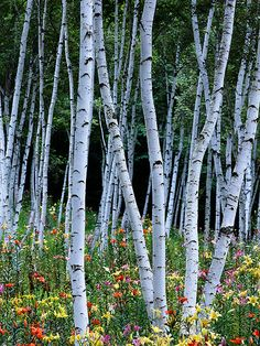 White birch forest by SAburns Birch Forest, Tree Forest, Birch Trees, Nature Sauvage, Aspen Trees, Tree Photography, Tree Leaves, Tree Art, Nature Pictures