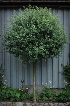 klotkörsbärsträd - Sök på Google