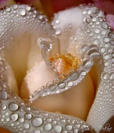 """Dew on peach rose. """"How cunningly nature hides every wrinkle of her inconceivable antiquity under roses and violets and morning dew. Amazing Flowers, My Flower, Beautiful Roses, Beautiful Flowers, Flower Petals, Simply Beautiful, Rosa Rose, Colorful Roses, Dew Drops"""