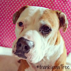 I am thankful to have had shiner in my life for 12 wonderful years! She is a sweet and silly senior dog.  Tell us why YOU are thankful for your dog to win @pawTree dog treats for an entire year!  Here's how to enter:  1. Follow @pawTree and @pawsitivelypets. 2. Post a photo of your dog with a caption about why you're so thankful for them. Include the hashtag #thankspawTree in your post. 3. Tag us so we can see your stories and photos!  Good luck! Contest ends 11/25 at 12 p.m. est.