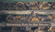 Get Rid of Those Bugs! Attracting Bats to Bat Houses