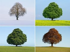 NEWSFLICK: One tree, four seasons: A picture combo made available on October 5 shows a horse-chestnut tree (Aesculus hippocastanum) in a field in Jacobsdorf, Germany pictured over the course of four seasons in 2011 - winter (top left), spring (top right), summer (lower left) and autumn (lower right)