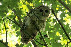 Barred Owl...who cooks for you? who cooks for you all?