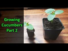 How To Grow Cucumbers Part 2 - Replanting - YouTube Cucumber Plant, Cucumber Seeds, Tomato Farming, Replant, Garden, Youtube, Garten, Lawn And Garden, Tuin