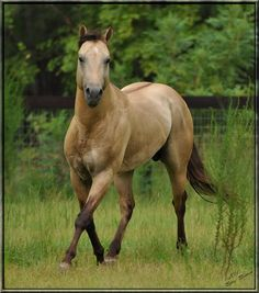 Quarter Horse stallion A Spark Of Sunshine
