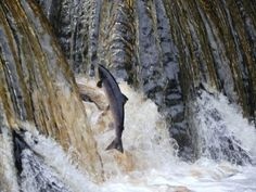Salmo salar (Atlantic Salmon) leaping to get back to the spawning redds.  The King of River Fish.