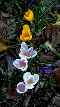 Love crocus - they always peek out just when you think winter will never end.