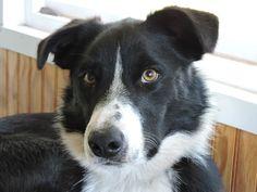 Mcnab Mcnab Shepherd Also Called A Mcnab Sheepdog Mcnab Border Collie Or Mcnab Herding Dog