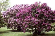 Large Flowering Bushes | Shrubs and bushes can grow to be quite large so the kind you choose ...