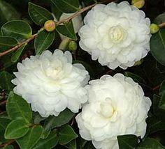 October Magic® White Shi-Shi™ Camellia