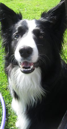 BRIGH EYED AND BUSHY TAILED...Asha the border collie  I love these dogs...