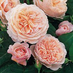William Morris   (English rose)