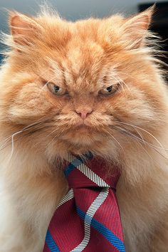 Grumpier than Grumpy Cat? If you had as many costume changes as Garfi the Persian, you'd have an angry look on your face, too. Funny Cat Videos, Funny Cats, Funny Animals, Grumpy Cats, Kitty Cats, Gatos Cool, Best Cat Gifs, Kitten Breeds, Exotic Shorthair