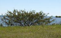 FOTOGRAFIAS DE LA FLORA AUTOCTONA DEL URUGUAY: CARPINCHERA -  Mimosa pigra