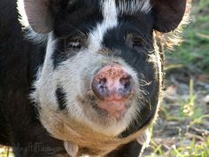 In 2013, I set out to find the ideal breed of pig for our farm. I wanted a pig that was docile and friendly, appealing to the eye, and relatively small as an adult (300 pounds tops), but that grew...