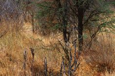 The long grass: An Impala hiding in vegetation in Botswana's Chobe National Park, Africa (Can you see it? Animal Pictures, Cool Pictures, Cool Photos, Forest Pictures, Funniest Pictures, Animals Photos, Amazing Photos, Wildlife Photography, Art Photography