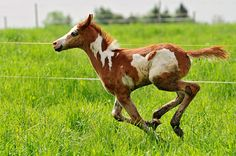 """Wind of freedom, by Tambako the Jaguar, via Flickr. """"The cute (and dirty) Cha´Kwaina...galloping in her pasture."""""""