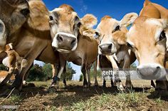 Herd Of Young Inquistive Jersey Cows