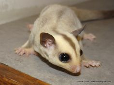 Bruno is a very handsome platinum sugar glider who is available on our website for $900!  Click through to learn more about this fellow.  :)