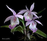 Barkeria spectabilis. A species orchid ( color)