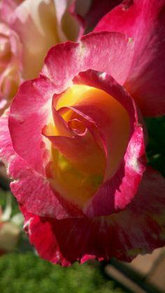 My roses! <3
