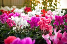 So valuable at this time of year, that we've name it our November 'Plant of the Month'. Find a guide to Cyclamen varieties, care and complementary planting ideas via our Hillier website. Wholesale Nursery, Autumn Garden, Garden Inspiration, Planting, Balcony, November, Website, Ideas, November Born