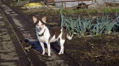 Marie in de tuin bij Wim #marie #dog #hond #boerenfox
