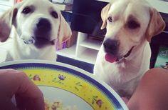 Feliz dia das mulheres pra todas as guerreiras desse mundo todo em especial a nossa mamãe @amorinandressa que amamos muito e que fez pipoquinha pra nós agora!  beijinhos mamãe!  ________________________________ #Harry #giuseppe #Labrador #Retriever #filhotes #cachorro #dog #Instadog #instaharry #instapet #dogslovers #puppy #pup #doggie #pet #lab #yellowlab #golden #talesofalab #babydog #loveanimals #labragram #laboftheday #worldoflabs #photo #instagram #felizdiadamulher #followme by…