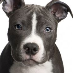 and i shall name him tunechi and he'll be my tunechi baby.. #pitbull