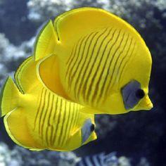 Butterfly fish is a colorful marine fish, found mostly in coral reefs. Marine Aquarium, Marine Fish, Saltwater Aquarium, Underwater Creatures, Underwater Life, Ocean Creatures, Colorful Fish, Tropical Fish, Betta